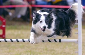 border collie 300x196