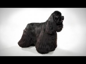 ABC Canino – Cocker Spaniel – legendado português.