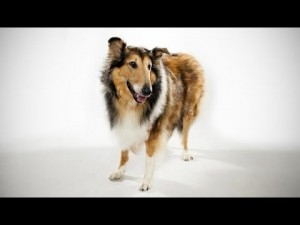 ABC Canino – Collie – legendado português.