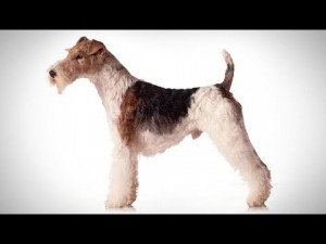 abc canino fox terrier de pelo d 300x225