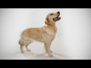 abc canino golden retriever lege 300x225
