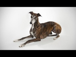 abc canino greyhound galgo ingle 300x225