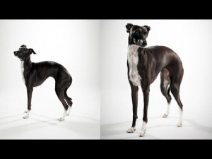 ABC Canino – Greyhound Italiano (Pequeno Lebrel Italiano) – legendado portugues.