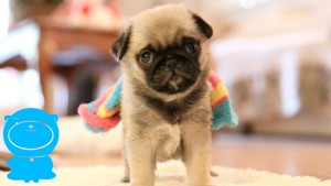 baby pug puppy wears sock funny 300x169