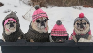 cutest pugs snow sledding party 300x171