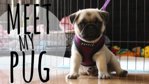 MEET MY PUG PUPPY ? | VLOG