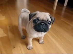 my 10 weeks old pug puppy so cut 300x225