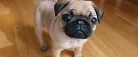 my 10 weeks old pug puppy, so cute!
