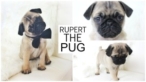 PICKING UP MY PUPPY – Rupert The Pug