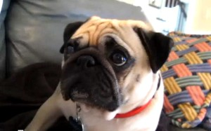 pug gets scolded takes it hard 300x187