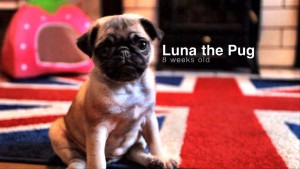 Pug puppy playing | Luna 8 weeks old