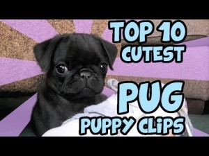 top 10 cutest pug puppy clips on 300x225