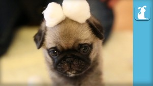 wrinkly pug puppy in cotton ball 300x169