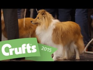 Best of Breed – Shetland Sheepdog and winner's interview  | Crufts 2015