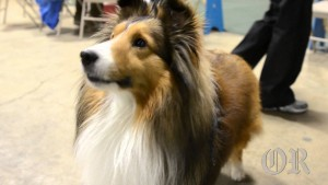 Three Rivers Shetland Sheepdog Club dog show
