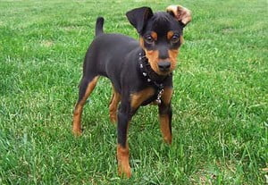 cachorrinho pinscher miniatura